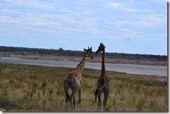 Giraffen_thumb_thumb